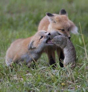 Honorable Mention - Foxes with Ground Squirrel