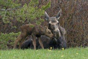Honorable Mention - Moose with Calf